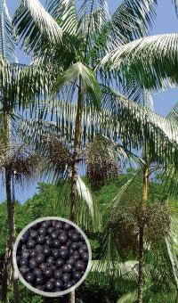 アサイーの木と果実
